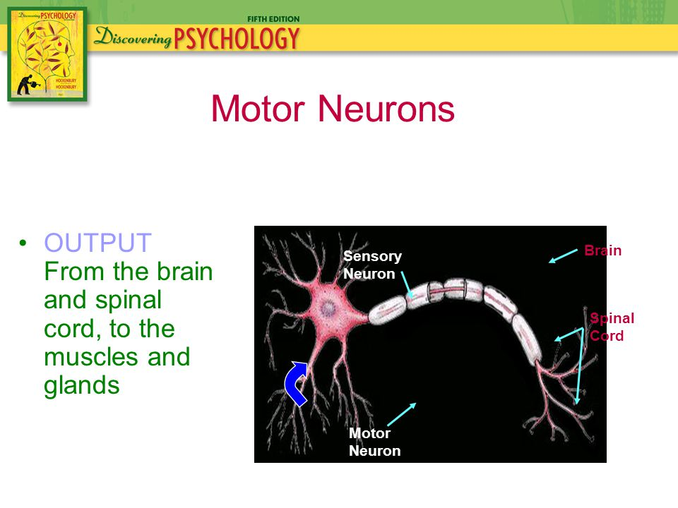 Spinal Cord Brain Sensory Neuron Motor Neuron OUTPUT From the brain and spinal cord, to the muscles and glands Motor Neurons
