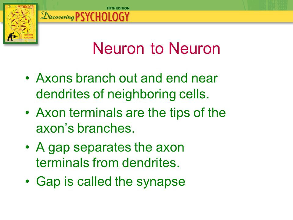 Axons branch out and end near dendrites of neighboring cells.