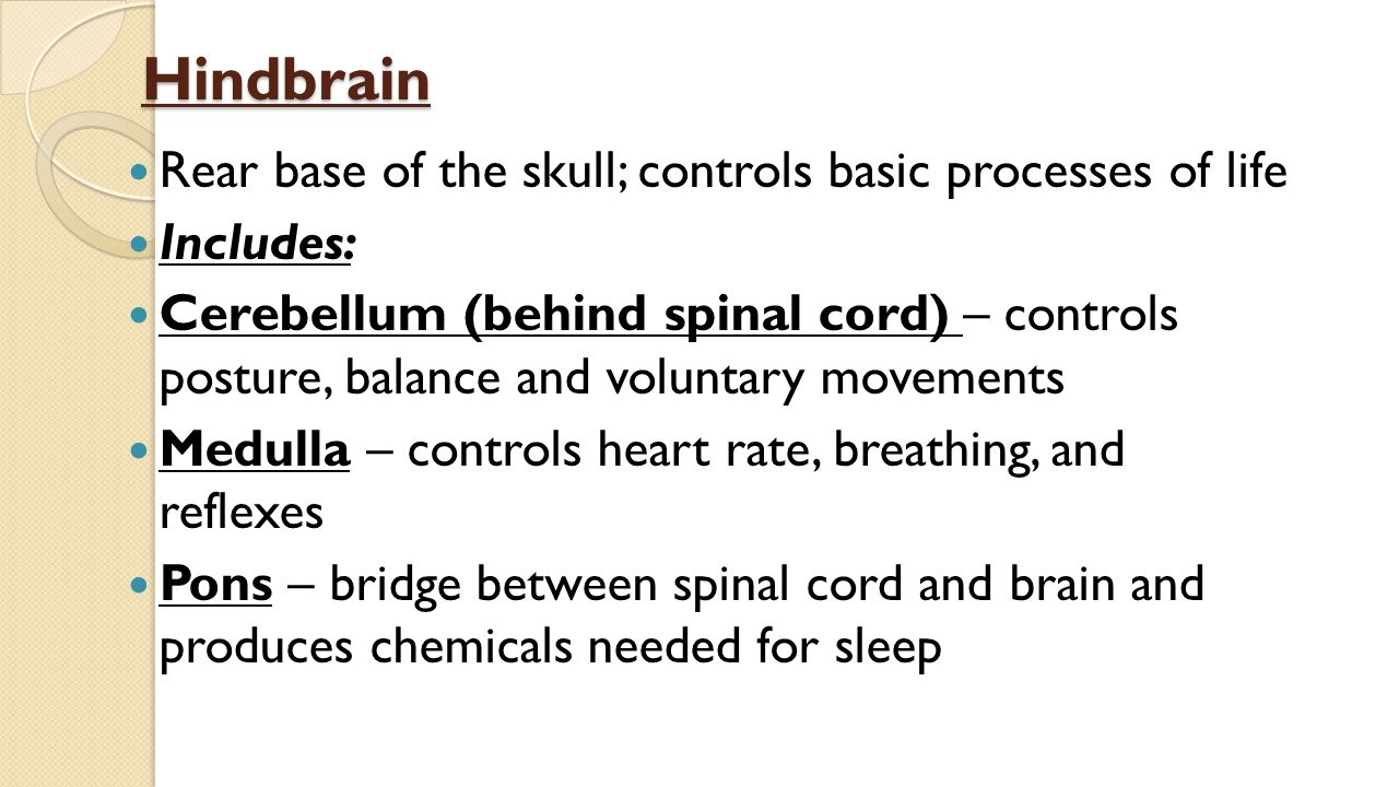 Hindbrain Rear base of the skull; controls basic processes of life Includes: Cerebellum (behind spinal cord) – controls posture, balance and voluntary movements Medulla – controls heart rate, breathing, and reflexes Pons – bridge between spinal cord and brain and produces chemicals needed for sleep