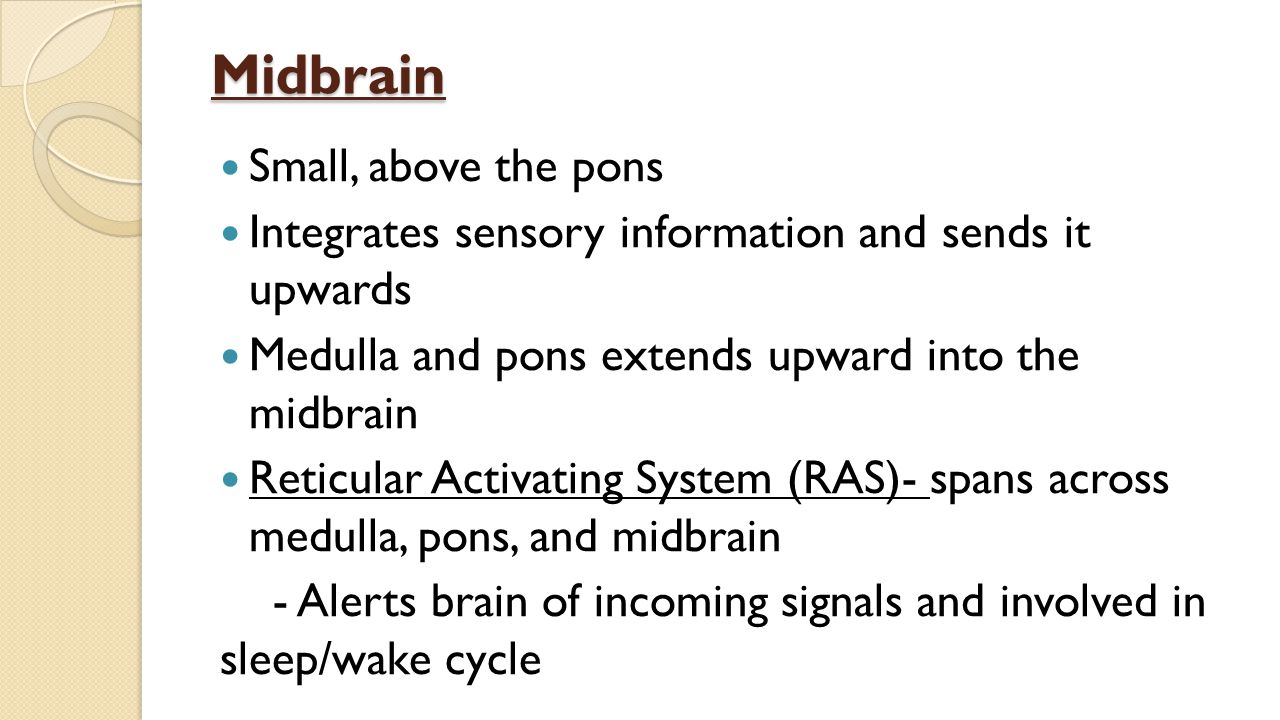 Midbrain Small, above the pons Integrates sensory information and sends it upwards Medulla and pons extends upward into the midbrain Reticular Activating System (RAS)- spans across medulla, pons, and midbrain - Alerts brain of incoming signals and involved in sleep/wake cycle
