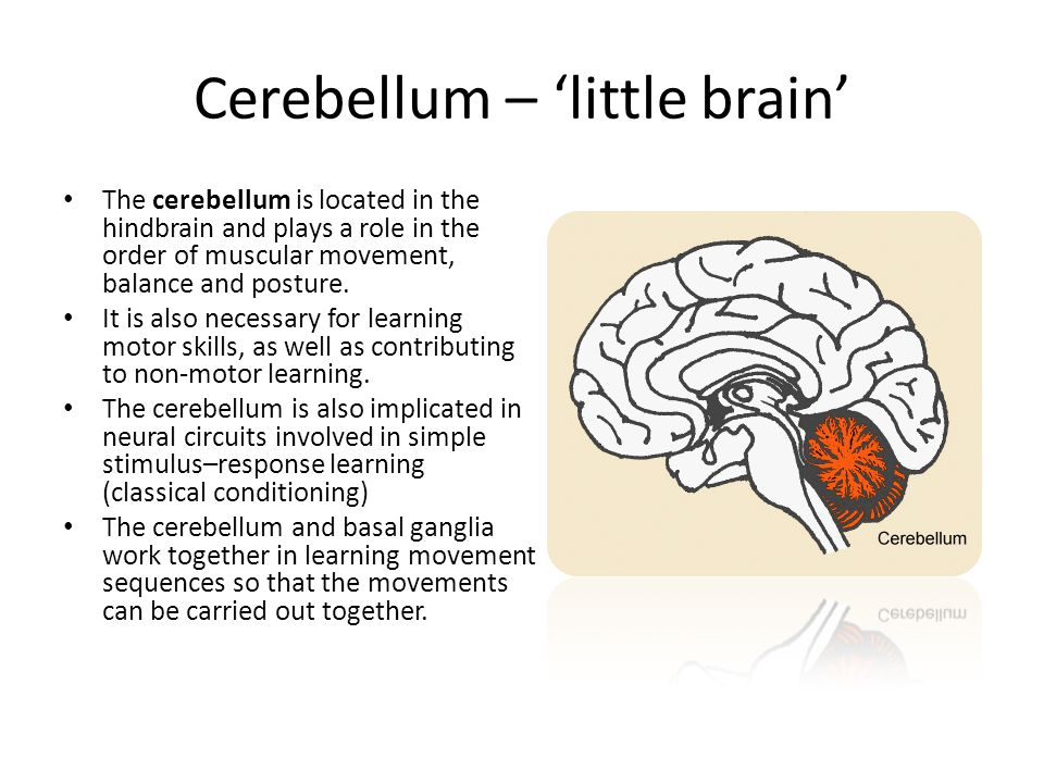 Cerebellum – 'little brain' The cerebellum is located in the hindbrain and plays a role in the order of muscular movement, balance and posture.
