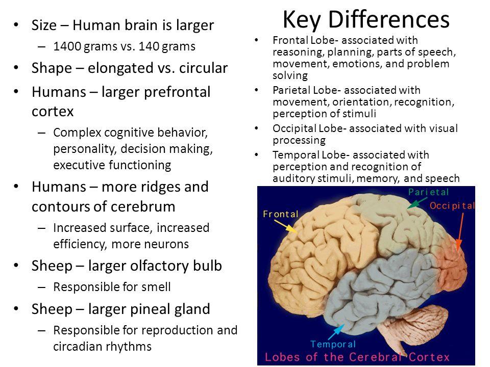 Sheep Brain Dissection Jared Peet Warm Up Class 5 Sheep Brain