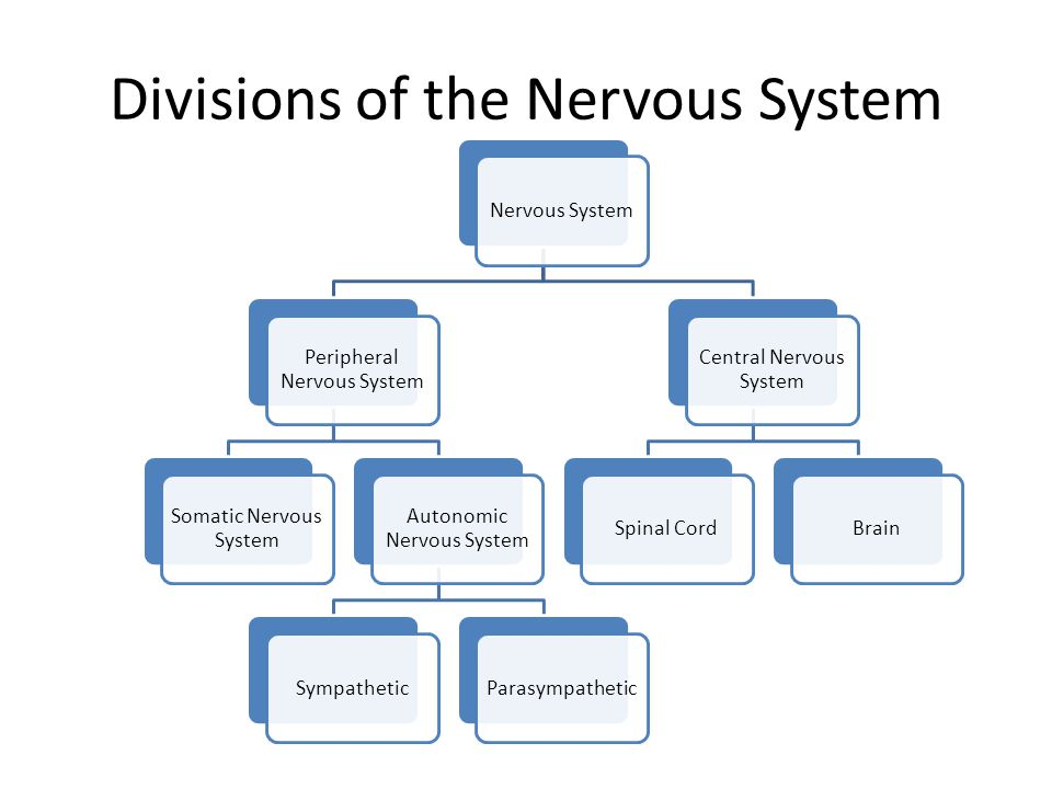 The nervous system divisions of the nervous system nervous system 2 divisions of the nervous system nervous system peripheral nervous system somatic nervous system autonomic nervous system sympatheticparasympathetic ccuart Image collections