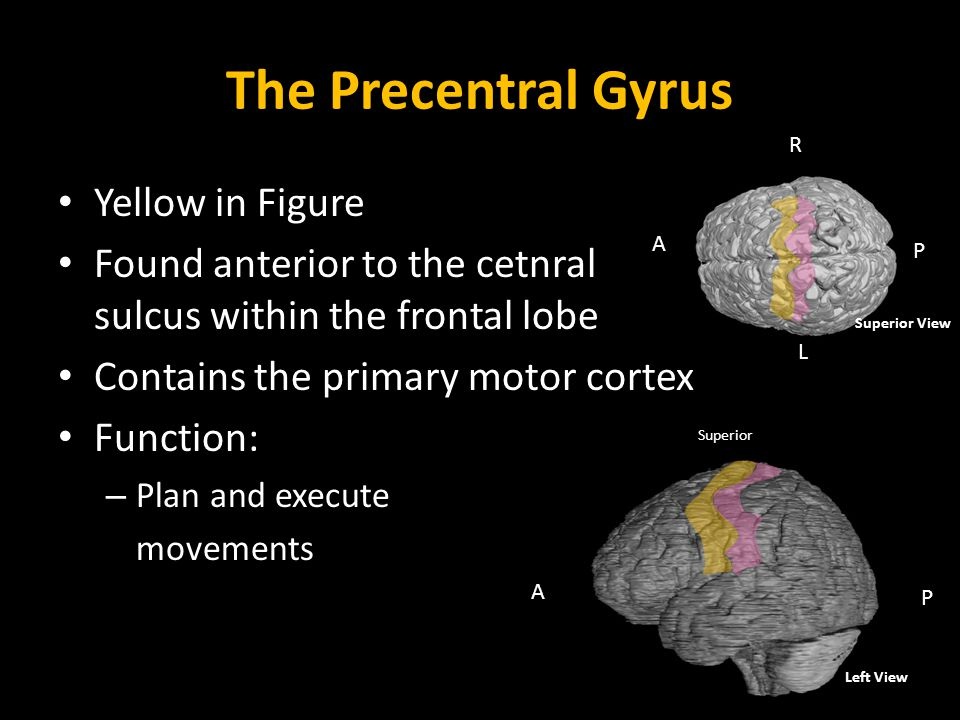 The Precentral Gyrus Yellow in Figure Found anterior to the cetnral sulcus within the frontal lobe Contains the primary motor cortex Function: – Plan and execute movements Left View A P Superior A P R L Superior View