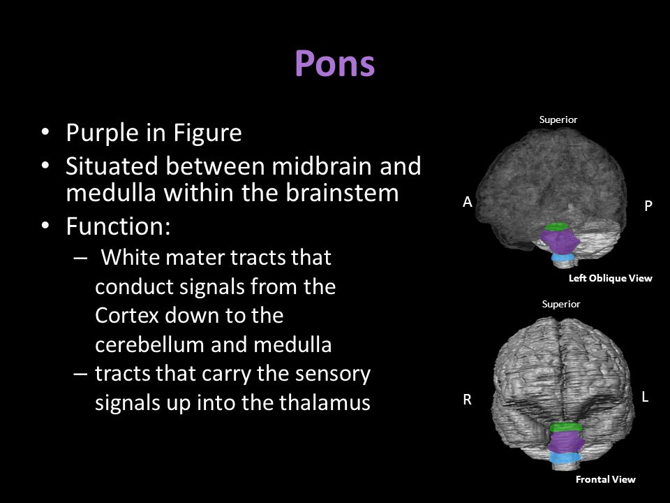 Pons Purple in Figure Situated between midbrain and medulla within the brainstem Function: – White mater tracts that conduct signals from the Cortex down to the cerebellum and medulla – tracts that carry the sensory signals up into the thalamus Superior R L Frontal View A P Superior Medial View Left Oblique View
