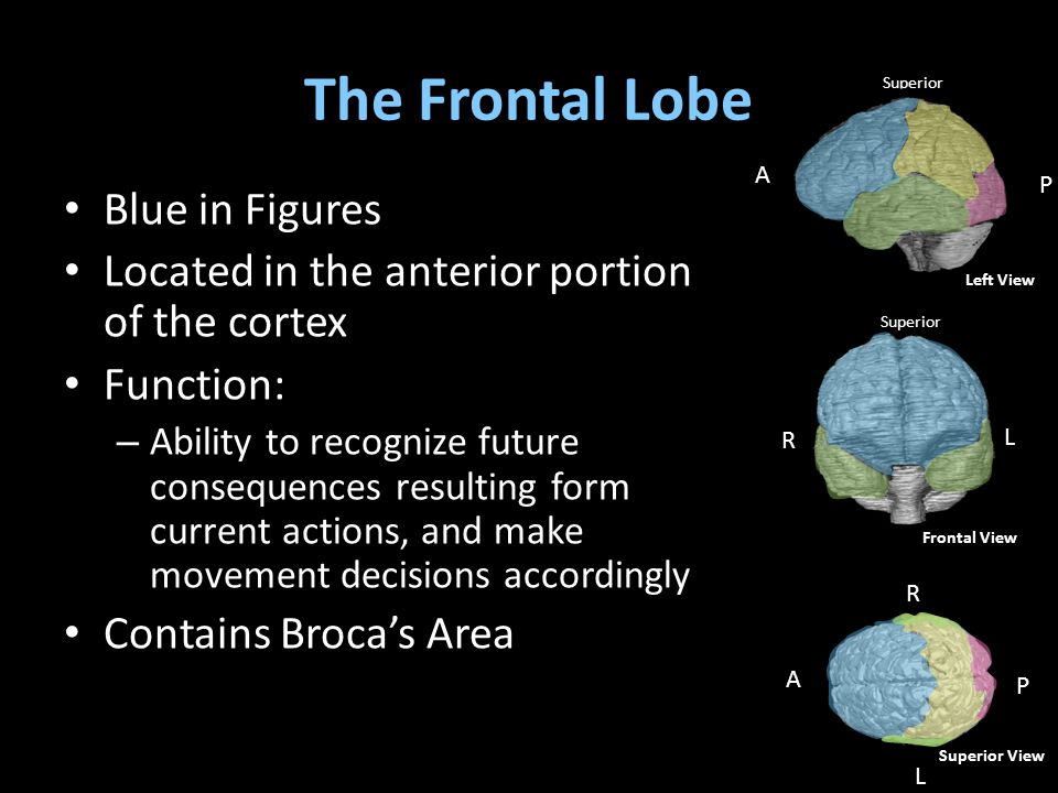 The Frontal Lobe Blue in Figures Located in the anterior portion of the cortex Function: – Ability to recognize future consequences resulting form current actions, and make movement decisions accordingly Contains Broca's Area A P R L Superior View Superior R L Frontal View A P Superior Left View