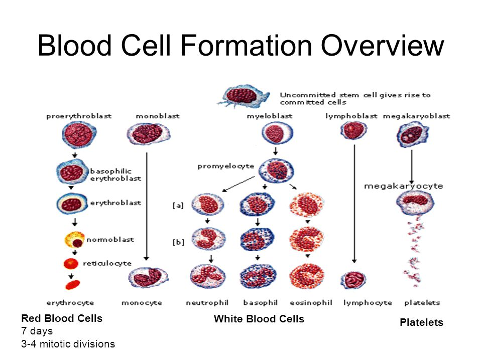 Blood Cell Formation Overview Red Blood Cells 7 days 3-4 mitotic divisions White Blood Cells Platelets