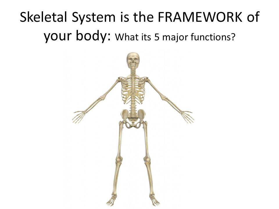 The Skeletal System 6 Th Grade Are Bones In Your Body Alive What