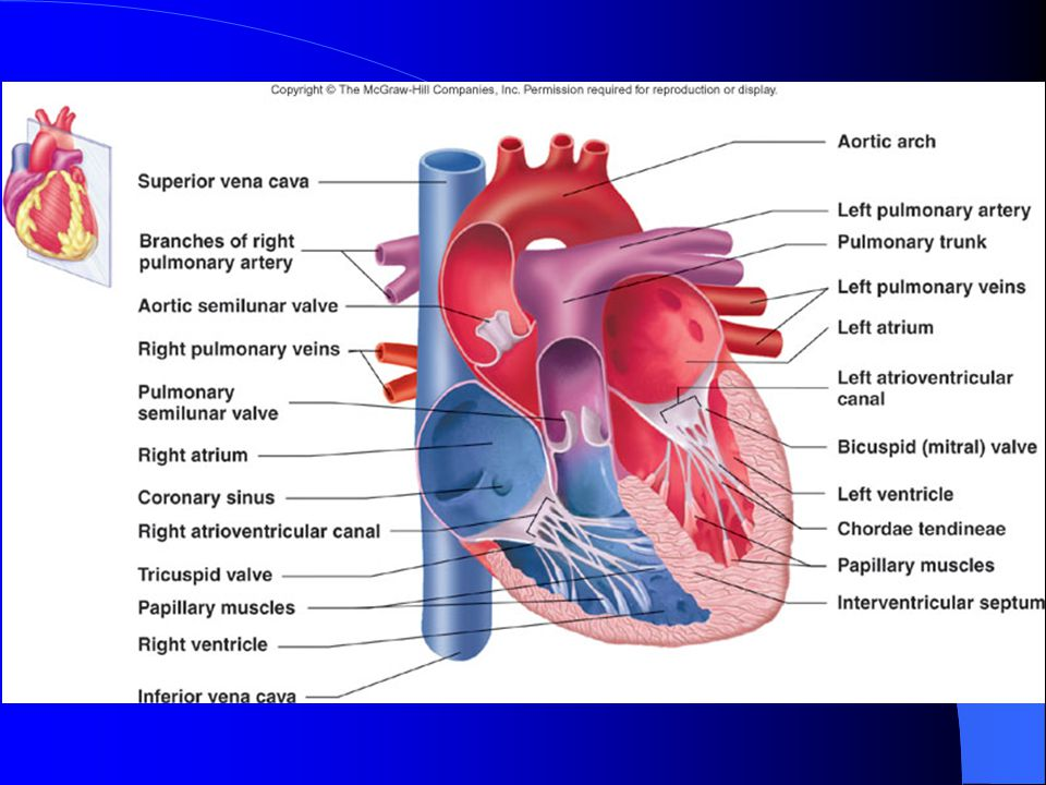 Circulatory System Overall Components Are Blood Blood Vessels And