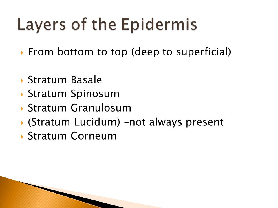  From bottom to top (deep to superficial)  Stratum Basale  Stratum Spinosum  Stratum Granulosum  (Stratum Lucidum) –not always present  Stratum Corneum