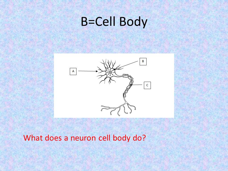What does a neuron cell body do