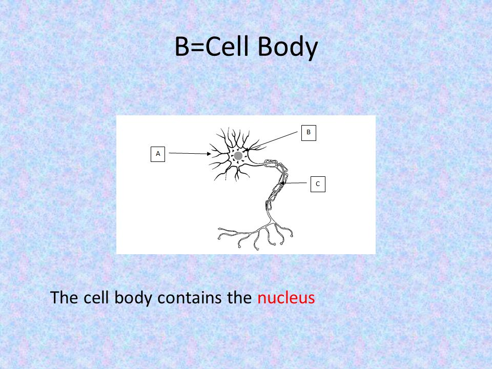 B=Cell Body The cell body contains the nucleus