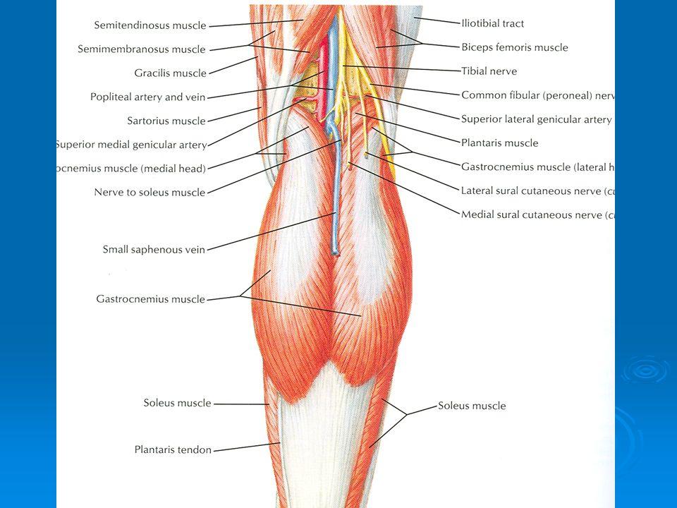 Back of Thigh & Popliteal Fossa - ppt video online download