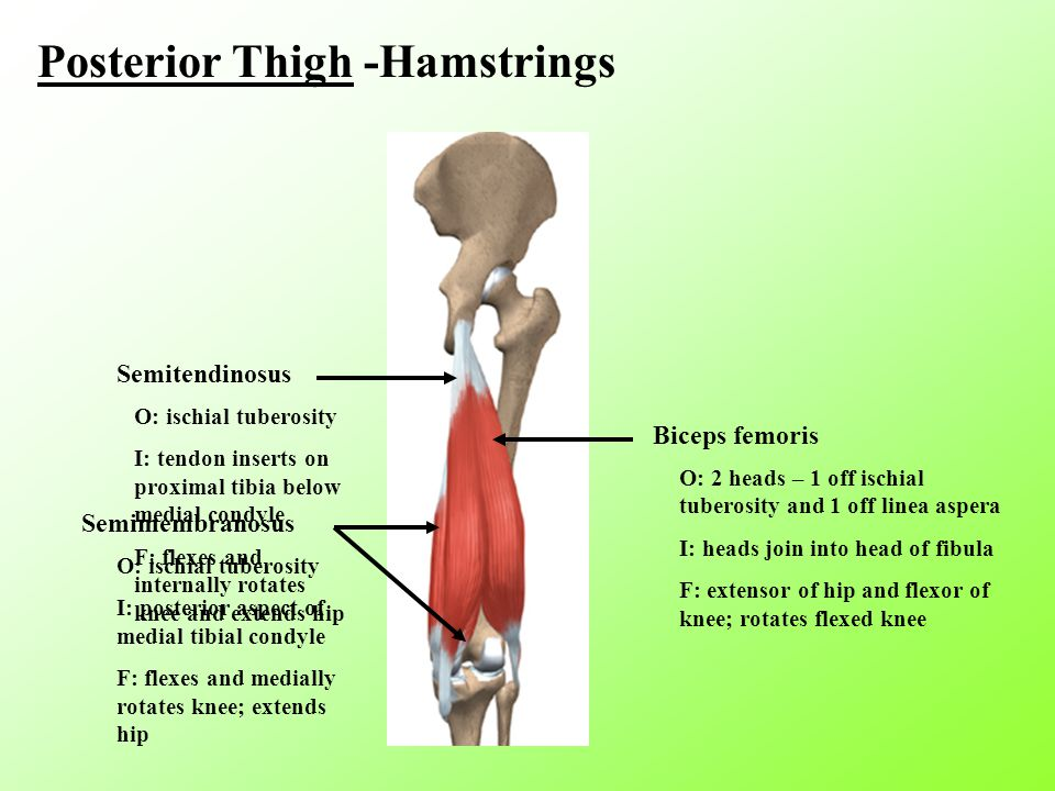 Posterior Thigh -Hamstrings Semitendinosus O: ischial tuberosity I: tendon inserts on proximal tibia below medial condyle F: flexes and internally rotates knee and extends hip Biceps femoris O: 2 heads – 1 off ischial tuberosity and 1 off linea aspera I: heads join into head of fibula F: extensor of hip and flexor of knee; rotates flexed knee Semimembranosus O: ischial tuberosity I: posterior aspect of medial tibial condyle F: flexes and medially rotates knee; extends hip