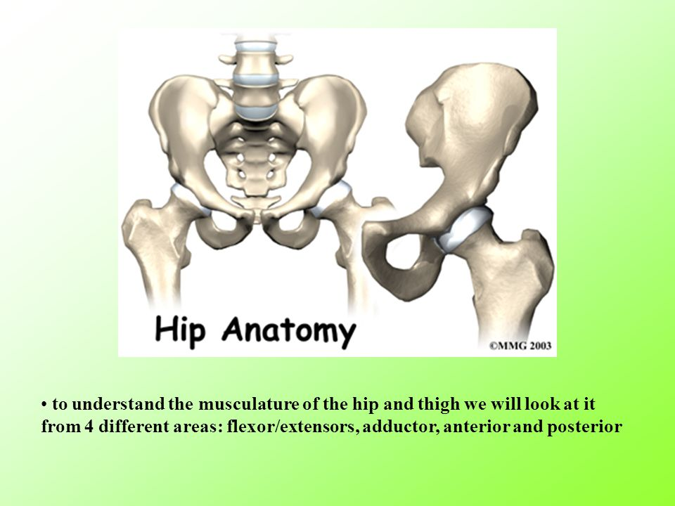 to understand the musculature of the hip and thigh we will look at it from 4 different areas: flexor/extensors, adductor, anterior and posterior
