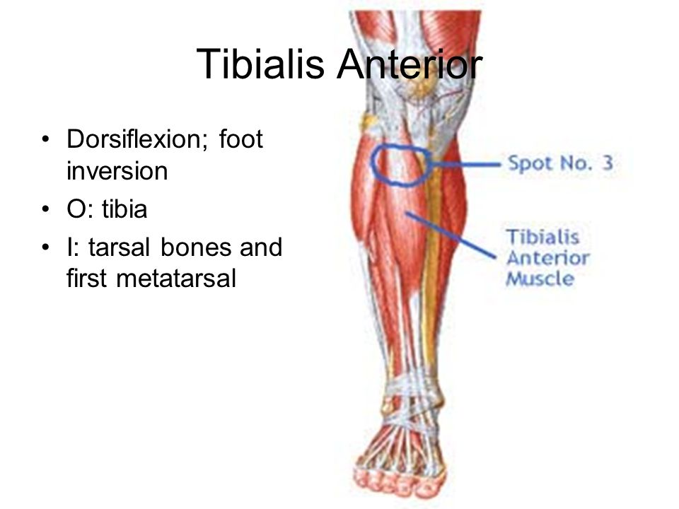 Tibialis Anterior Dorsiflexion; foot inversion O: tibia I: tarsal bones and first metatarsal