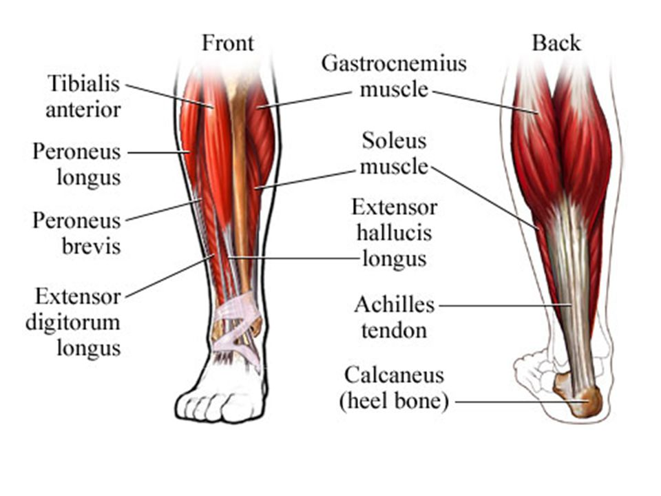 Muscle Review Ppt Video Online Download