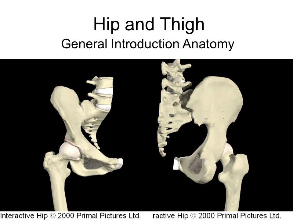 Hip And Thigh General Introduction Anatomy Hip Joint Ball And