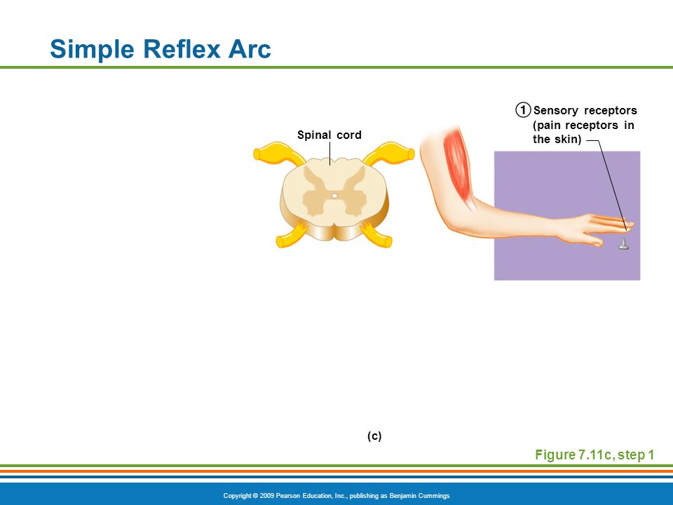Copyright © 2009 Pearson Education, Inc., publishing as Benjamin Cummings Simple Reflex Arc Figure 7.11c, step 1 Spinal cord Sensory receptors (pain receptors in the skin) (c)