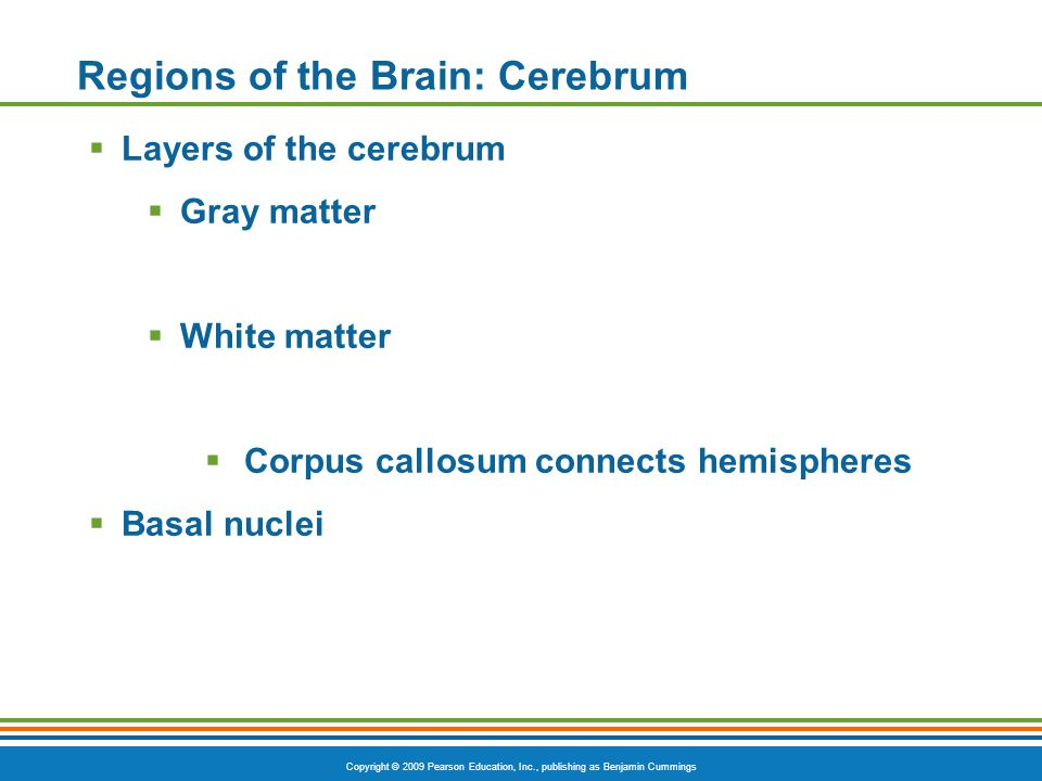 Copyright © 2009 Pearson Education, Inc., publishing as Benjamin Cummings Regions of the Brain: Cerebrum  Layers of the cerebrum  Gray matter  White matter  Corpus callosum connects hemispheres  Basal nuclei