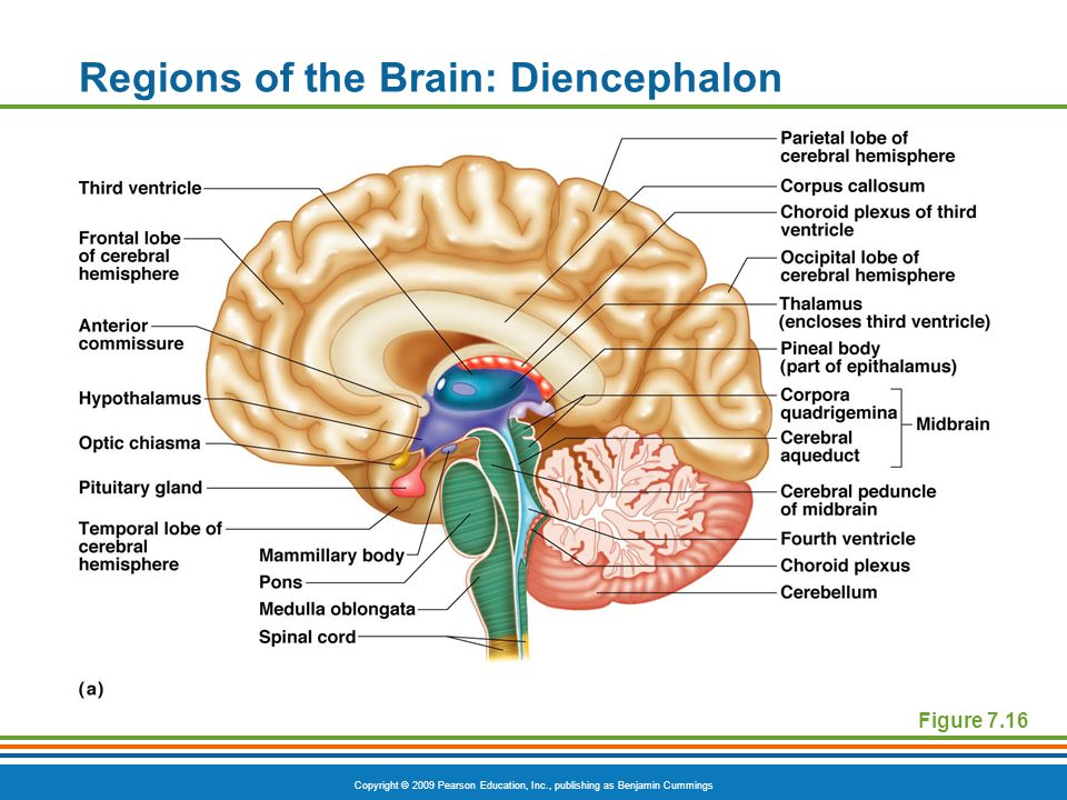 Copyright © 2009 Pearson Education, Inc., publishing as Benjamin Cummings Regions of the Brain: Diencephalon Figure 7.16