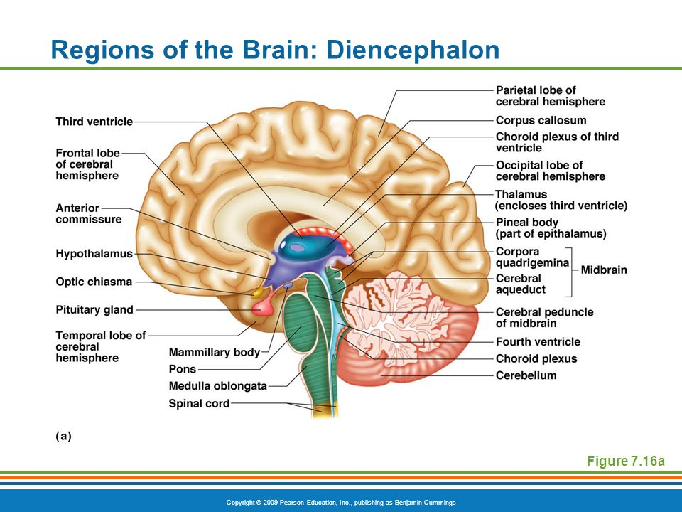 Copyright © 2009 Pearson Education, Inc., publishing as Benjamin Cummings Regions of the Brain: Diencephalon Figure 7.16a
