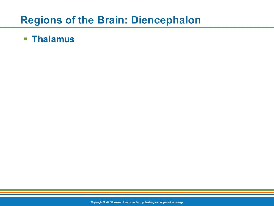 Copyright © 2009 Pearson Education, Inc., publishing as Benjamin Cummings Regions of the Brain: Diencephalon  Thalamus
