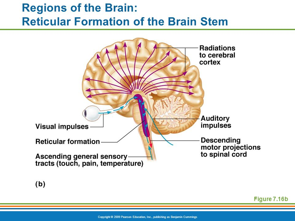 Copyright © 2009 Pearson Education, Inc., publishing as Benjamin Cummings Regions of the Brain: Reticular Formation of the Brain Stem Figure 7.16b