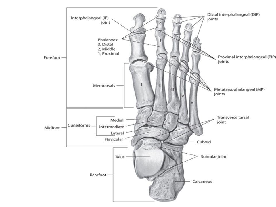 bony landmarks of the foot