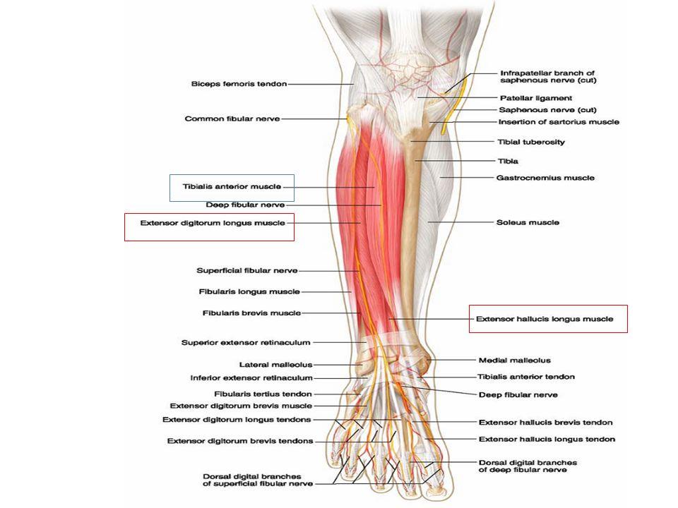 Leg Muscles. - ppt video online download