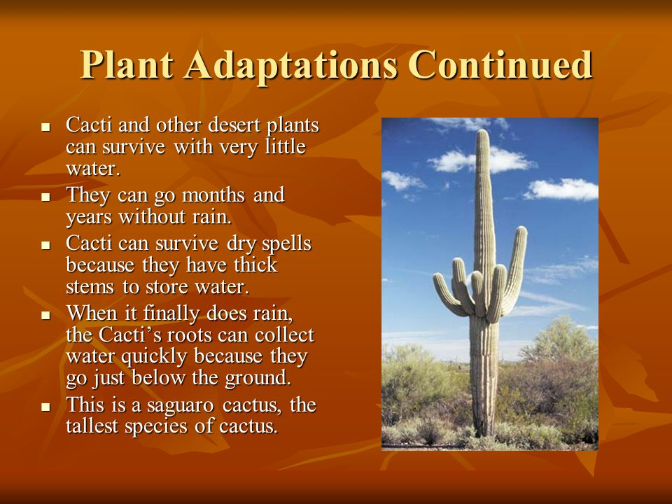 Plant Adaptations Continued Cacti And Other Desert Plants Can Survive With Very Little Water