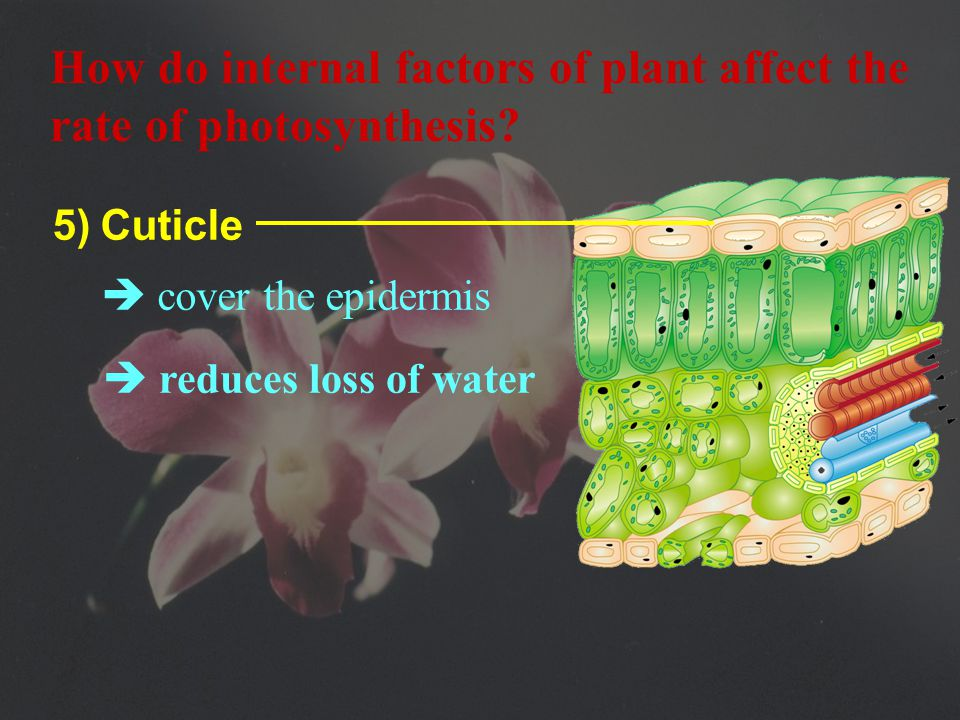 4)  Epidermal cells have no chloroplasts, except guard cells How do internal factors of plant affect the rate of photosynthesis