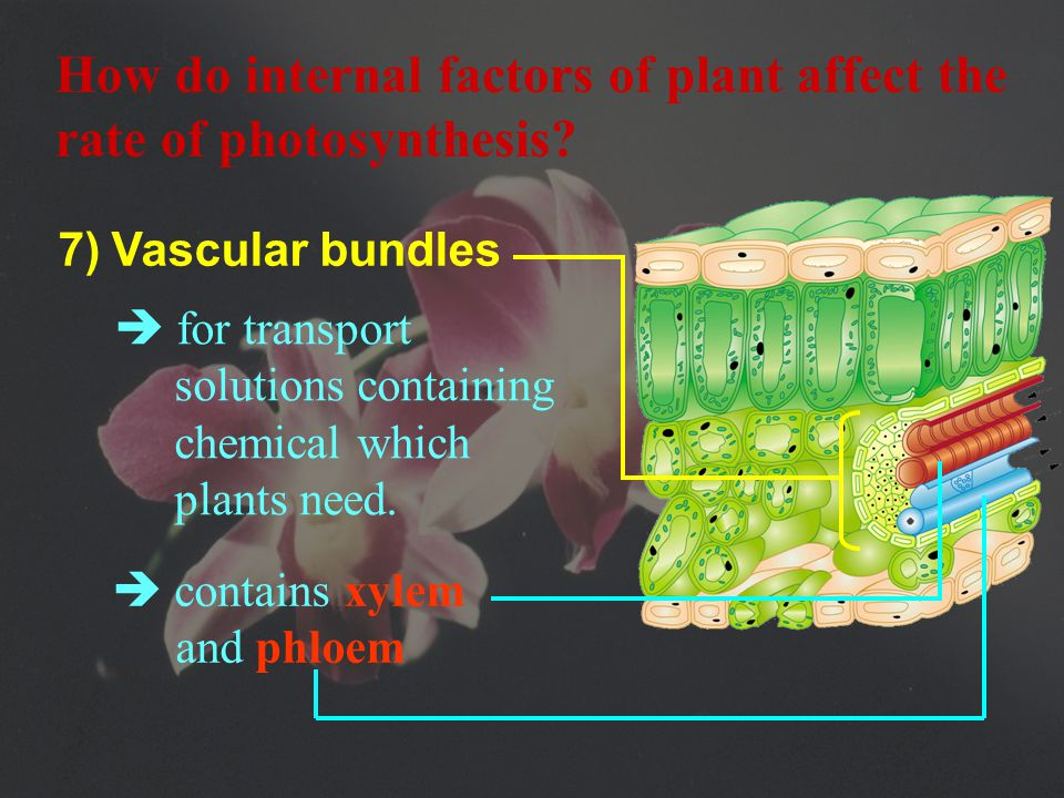 6)  There are far fewer stomata on the upper surface of a leaf to reduce water loss.
