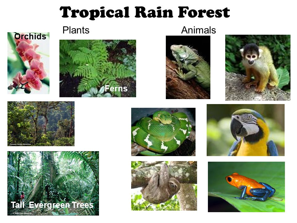 Tropical Rain Forest PlantsAnimals Ferns Tall Evergreen Trees Orchids