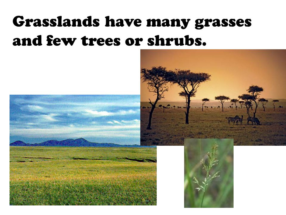 Grasslands have many grasses and few trees or shrubs.