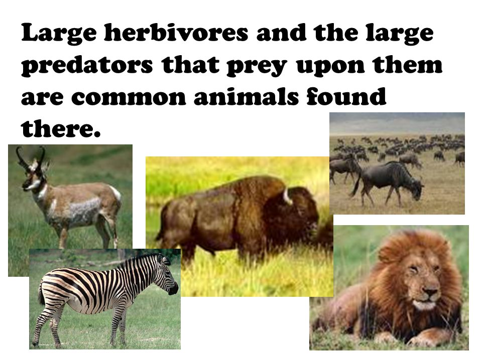 Large herbivores and the large predators that prey upon them are common animals found there.
