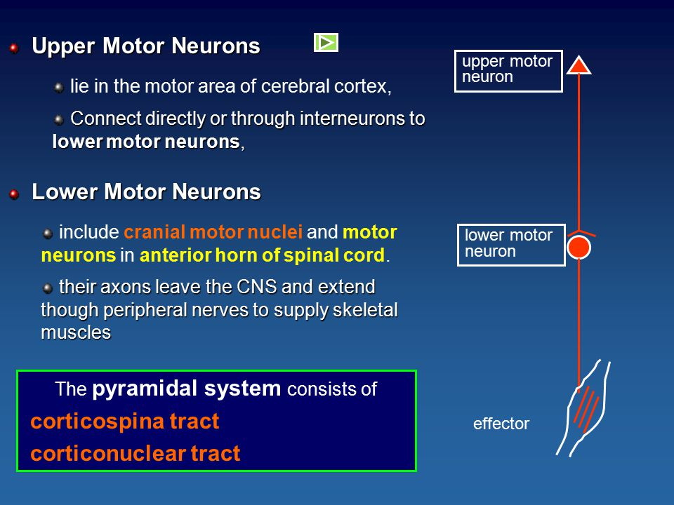 The pyramidal system consists of corticospina tract corticonuclear tract upper motor neuron lower motor neuron effector