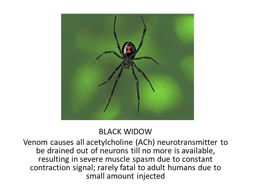 BLACK WIDOW Venom causes all acetylcholine (ACh) neurotransmitter to be drained out of neurons till no more is available, resulting in severe muscle spasm due to constant contraction signal; rarely fatal to adult humans due to small amount injected