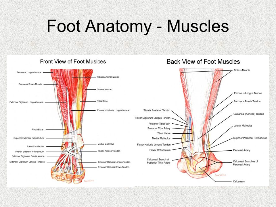 Foot / Ankle Charles GordonTennis. Foot Anatomy - Bones. - ppt download