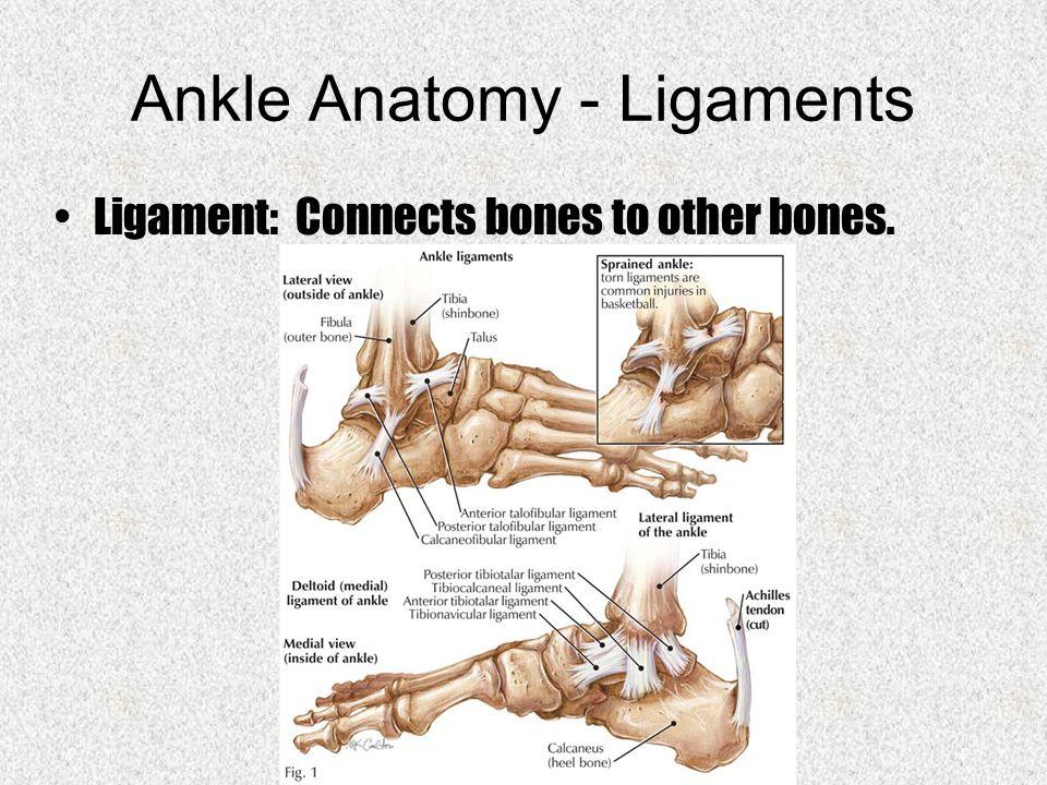 Foot / Ankle Charles GordonTennis. Foot Anatomy - Bones. - ppt download