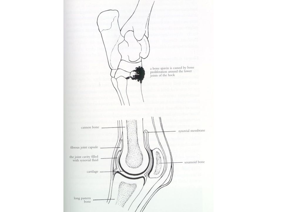 The Forward Flight Of Hoof Is Shortened And Hock Action Decreased Heel May Bee Elongated Standardbreds Develop Soreness In: Parts Of The Hoof Diagram At Sergidarder.com