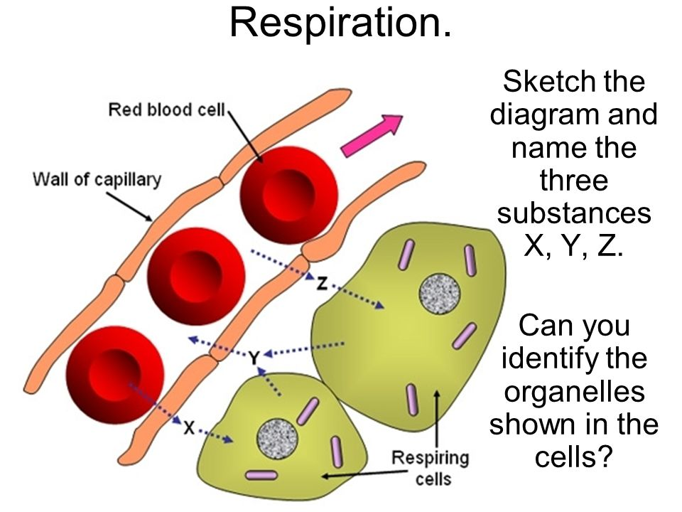 Respiration Sketch The Diagram And Name The Three Substances X Y