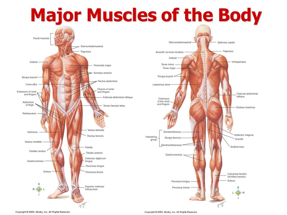 Myo Muscle The Muscular System Muscular System There Are 650