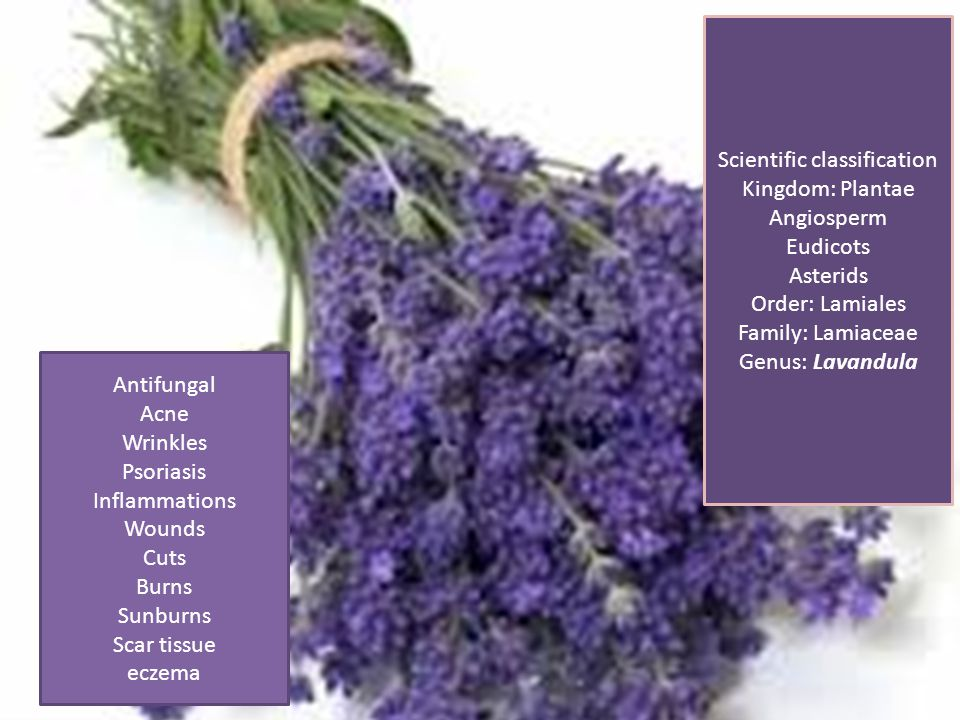 Scientific classification Kingdom: Plantae Angiosperm Eudicots Asterids Order: Lamiales Family: Lamiaceae Genus: Lavandula Antifungal Acne Wrinkles Psoriasis Inflammations Wounds Cuts Burns Sunburns Scar tissue eczema