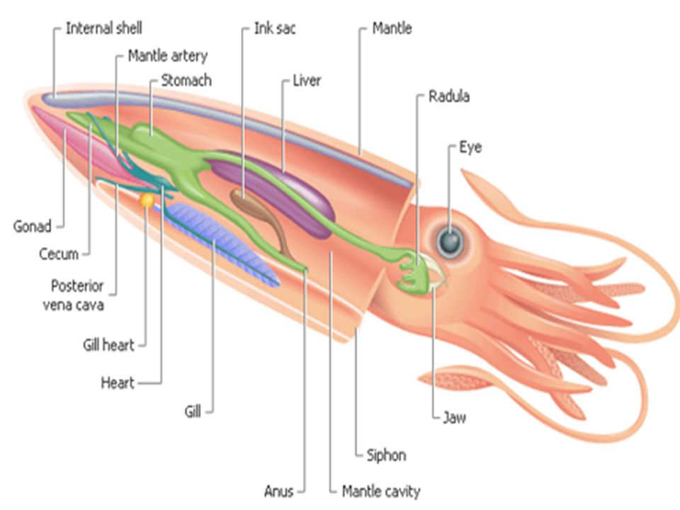 Squid Dissection Preparation 5 Th Grade Ms B Ppt Download