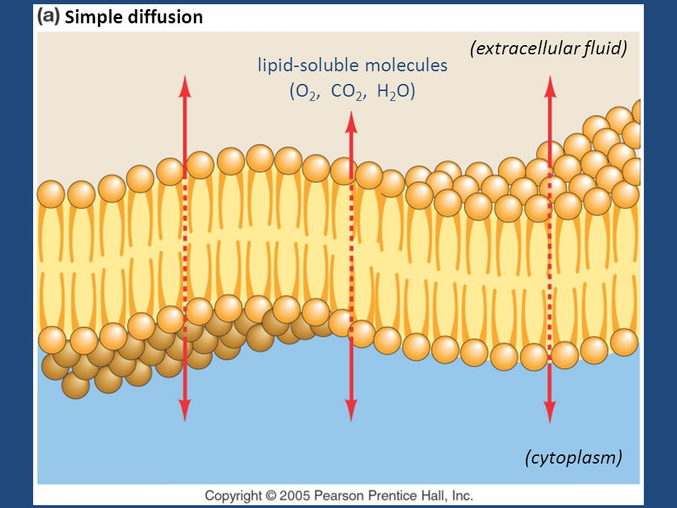 lipid-soluble molecules (O 2, CO 2, H 2 O) (extracellular fluid) (cytoplasm) Simple diffusion