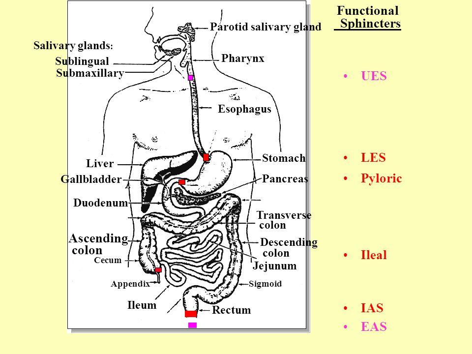 Sublingual Salivary glands : Submaxillary Liver Gallbladder Duodenum ...