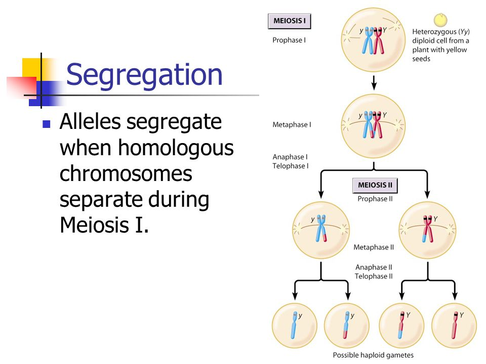 Other inheritance patterns mendels laws law of dominance if the 3 segregation alleles segregate when homologous chromosomes separate during meiosis i ccuart Image collections