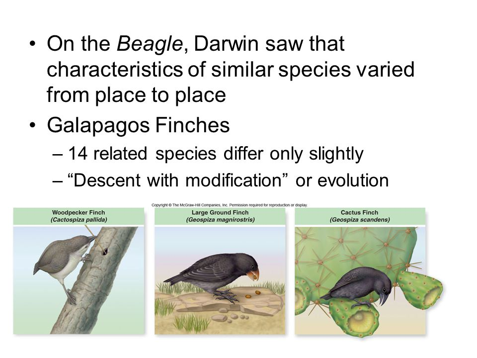 On the Beagle, Darwin saw that characteristics of similar species varied from place to place Galapagos Finches –14 related species differ only slightly – Descent with modification or evolution 21