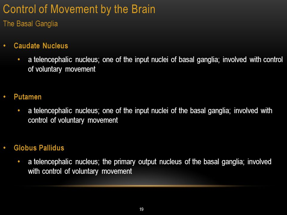Control of Movement by the Brain 19 The Basal Ganglia Caudate Nucleus a telencephalic nucleus; one of the input nuclei of basal ganglia; involved with control of voluntary movement Putamen a telencephalic nucleus; one of the input nuclei of the basal ganglia; involved with control of voluntary movement Globus Pallidus a telencephalic nucleus; the primary output nucleus of the basal ganglia; involved with control of voluntary movement